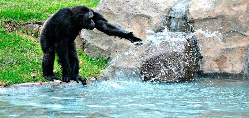 ozono chimpance